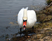 White Swan royalty free stock photo