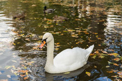 White Swan pond, autumn, fallen yellow leaves Royalty Free Stock Images