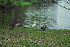 White swan on a pond, beautiful white birds. A swan lake Royalty Free Stock Photography