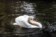 White swan on the pond Royalty Free Stock Images