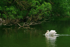 White swan in a pond. Stock Photo