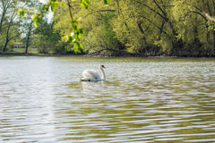 White swan at the pond Stock Image