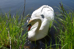 White swan on a pond Stock Images