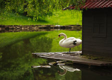 White swan on a pond in a city park Stock Image