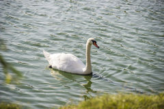 White swan at the pond Royalty Free Stock Photography