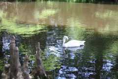 White swan on pond with cypress knees Stock Photos
