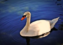 White Swan on a pond. White Swan in dark water which reflected the clouds royalty free stock photo