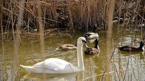 White swan in a pond with ducks stock footage