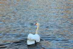 White swan on a pond. White swan floating on a pond Stock Images