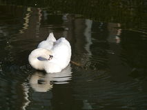 A white swan in a pond with mirroring Stock Photo