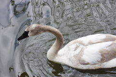 A white swan is in the pond of the Moscow zoo Stock Image