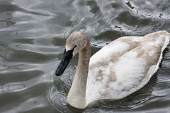 A white swan is in the pond of the Moscow zoo. Russia Royalty Free Stock Photography