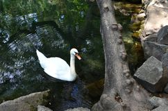 White swan on the pond near the rocky shore. Circles on the wate royalty free stock photo