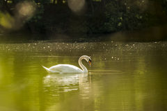 White Swan in a pond Royalty Free Stock Photography