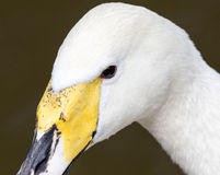 White swan on a pond in the park Royalty Free Stock Photography