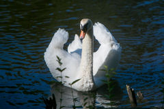 White swan on the pond stock photography