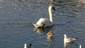 White swan at the pond. A white swan swimming at the morning pond stock video footage