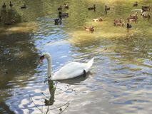 White swan in pond. White swan swimming in the pond on romantic morning Royalty Free Stock Images