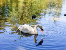 White swan in pond. White swan swimming in the pond on romantic morning Royalty Free Stock Photos