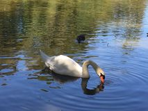 White swan in pond. White swan swimming in the pond on romantic morning Stock Image