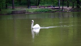 White swan on a pond. stock footage