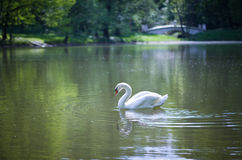 White swan on a pond. Stock Photography