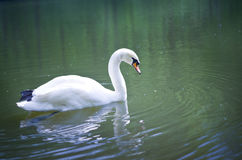 White swan on a pond. Royalty Free Stock Image