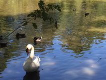 White swan in pond. White swan walking out of the pond in morning Royalty Free Stock Photos