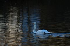 White swan on a pond. White swan floating on a pond Stock Photo