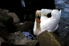 White swan. Pool and rocks Royalty Free Stock Image