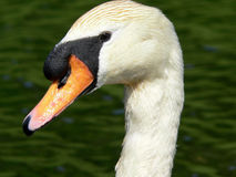 White swan portrait Stock Photography