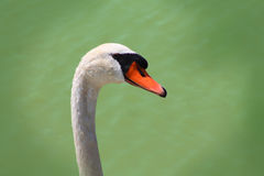 White swan. Portrait of white swan close up Stock Photography