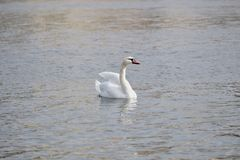 White Swan poses for the photographer royalty free stock photography