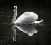 White Swan posing for a portrait Stock Photos