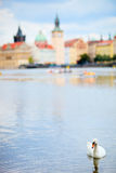 White swan in Prague Stock Image