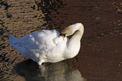 White swan preening. Ripples and reflections in water Royalty Free Stock Images