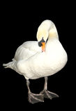 White swan preening. Isolated on black background Royalty Free Stock Images