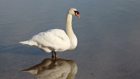 White swan preening feathers. stock footage