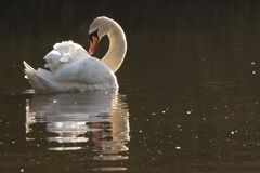 A white swan preening on the Ornamental Pond on Southampton Common royalty free stock images