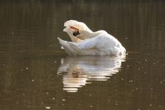 A white swan preening on the Ornamental Pond on Southampton Common stock images