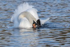 A mute swan on Southampton Common royalty free stock photography