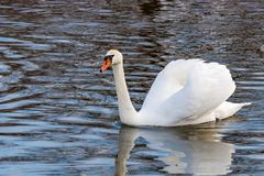 White swan with raised wings floating on the water surface of the river Stock Images