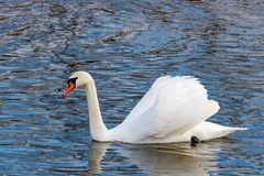 White swan with raised wings floating on the water surface of the river Stock Image