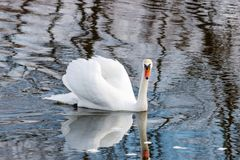 White swan with raised wings floating on the water surface of the river Stock Photography