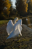 White Swan is ready to spread out his beautiful wings in the evening Stock Photography