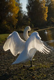White Swan is ready to spread out his beautiful wings in the evening Royalty Free Stock Photo