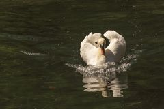 White Swan with a red beak floats on the pond, foaming water, and reflected in it.  stock image