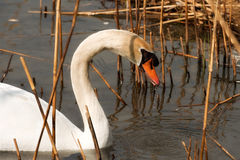 White Swan in the Reeds. Close-up of a white mute swan cygnus olor in the water among reeds Stock Photography
