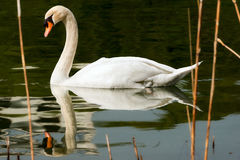 White Swan in the Reeds. White mute swan Cygnus olor in the water while swimming among reeds Royalty Free Stock Images