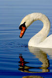 White Swan Refection in Lake. Beautiful White Swan Swimming in Deep Blue Lake Water with rippled reflection Royalty Free Stock Photos
